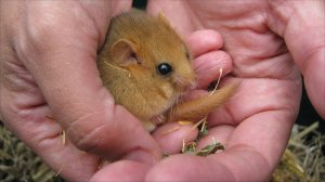 A dormouse Credit: Susannah Penn, BBC/Nature