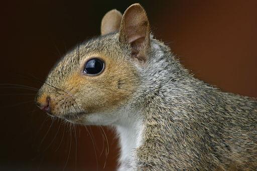 Squirrel_closeup_profile
